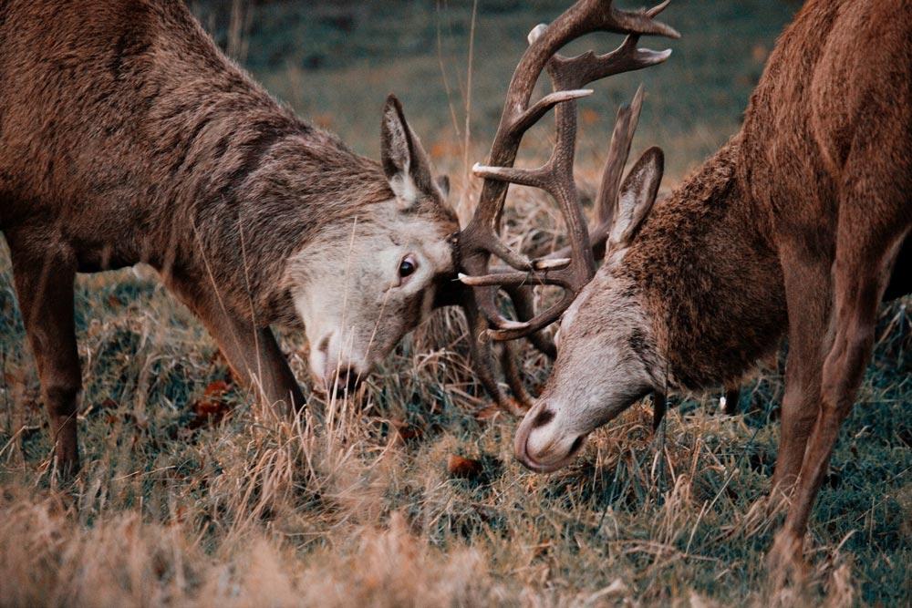 Deer rut in Suffolk